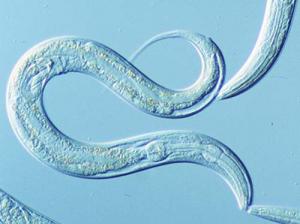 C. elegans Project Lessons