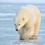 March of the Polar Bears