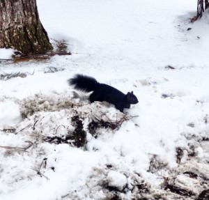 Nature Lovers! Is it just me who's never seen a black squirrel before??