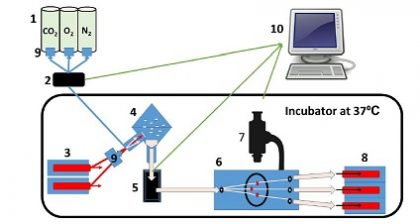 Microfluidic system for real-time monitoring of biliary transport in precision-cut liver slices